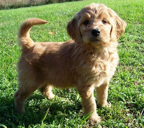 springerdoodle puppies for sale ontario best 25 goldendoodle breeders ideas on puppy