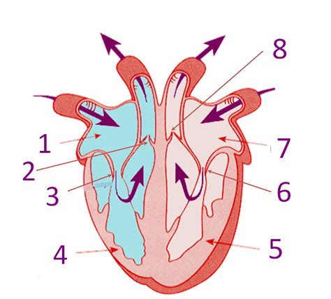 sections of the heart parts of the heart proprofs quiz