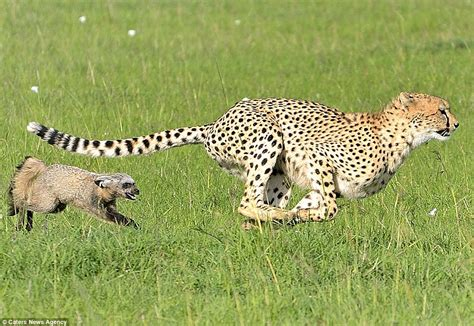 Turns Cheetah by Scaredy Cat Cheetah Turns And Flees After
