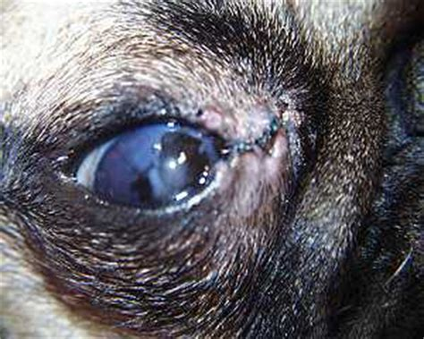 eye problems in pugs this is the result of sewing the corner of the eye shut due to overly large eyelids