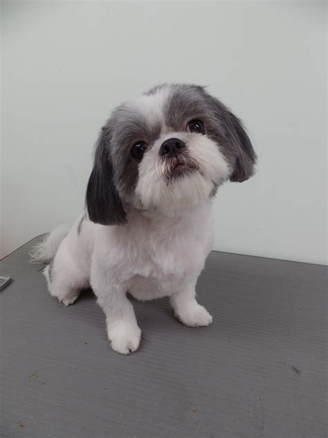 round face dog cut i have not had the chance to post a grooming video in a