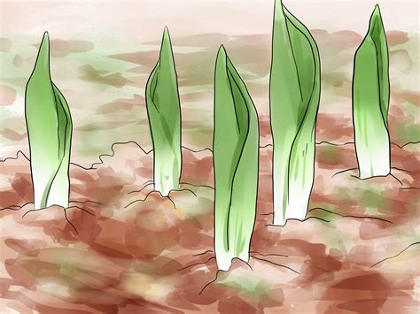 how to plant tulip bulbs 8 steps with pictures wikihow