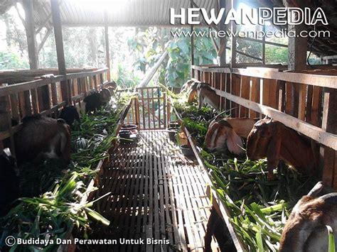 Anakan Kambing Terbaru panduan lengkap ternak kambing agar cepat gemuk dan menguntungkan 3 hewanpedia