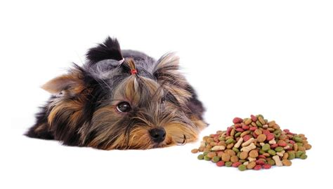 yorkie food best food for yorkies how what to feed terriers top tips