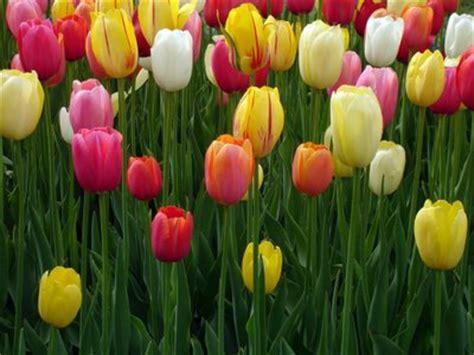 Hias Bunga Tuip aneka gambar bunga hias cantik gambarbinatang