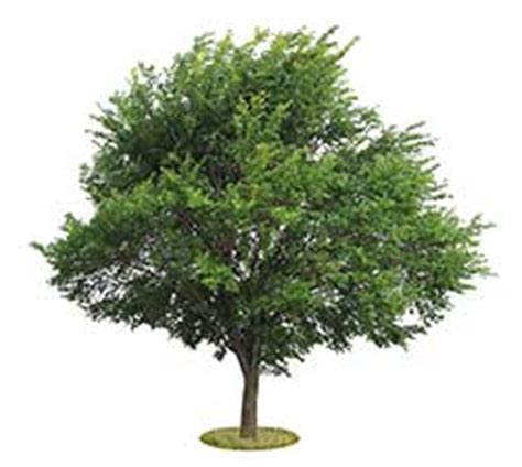 elm tree meaning elm definition and meaning collins english dictionary