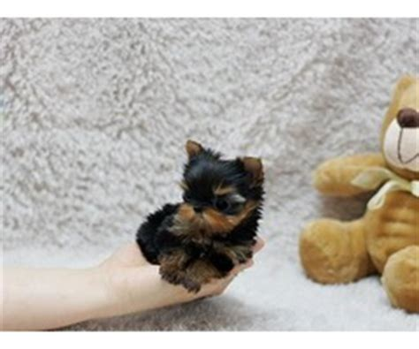 yorkie puppies for sale duluth mn boston terrier puppies for sale to new homes animals minneapolis minnesota
