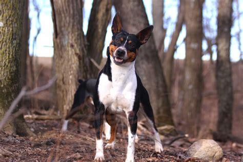 standard rat terrier puppies for sale seegmiller standard rat terriers