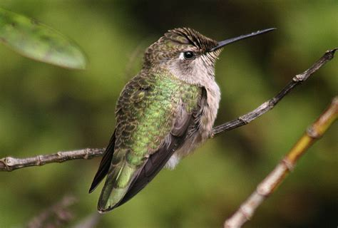 arizona a hummingbird hot spot with most species in us