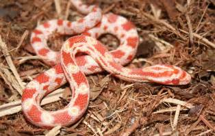 corn snake animals photos
