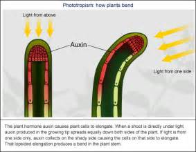 auxin in plants for