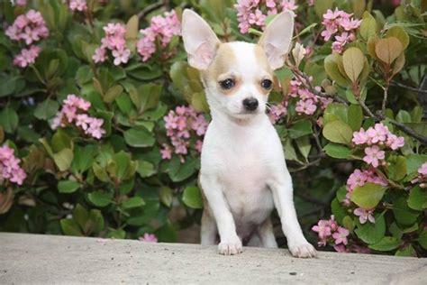 alimentazione chiwawa chihuahua cani taglia piccola caratteristiche