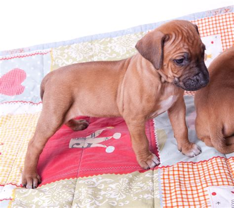 rhodesian ridgeback mix puppies for sale rhodesian ridgeback puppies breeds picture