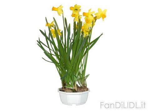 offerte fiori narcisi fiori fan di lidl