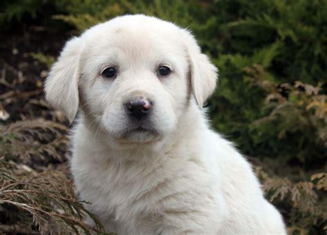 pyrenean mastiff puppies pyrenean mastiff all big breeds