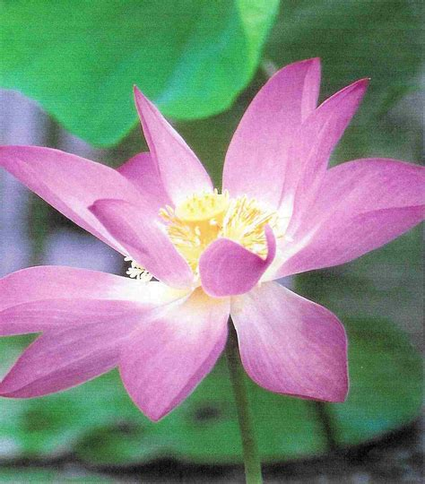 Of The Lotus Lotus Flower Meaning Pictures Blue White Lotus Flowers
