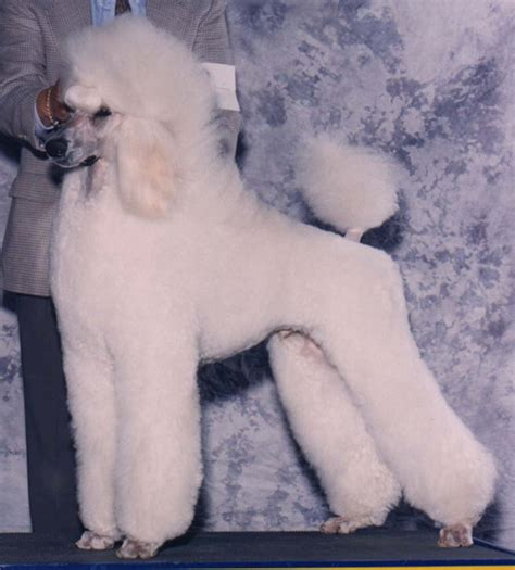 continental poodle grooming styles how do you like a poodle clipped yahoo answers