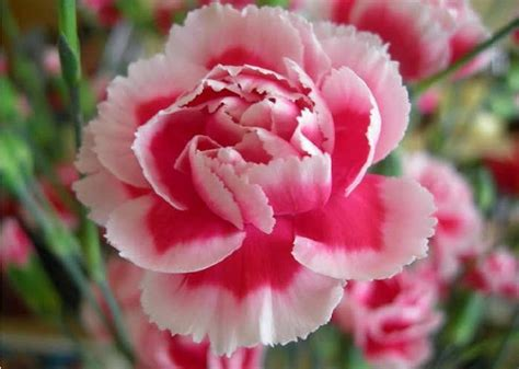 wallpaper bunga carnation cara merawat bunga carnation merawat tanaman