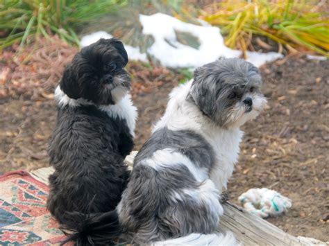 shih tzu with curly hair different shih tzu haircuts image search results
