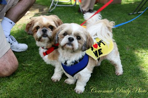 adoption shih tzu coronado daily photo adopt these shih tzu s