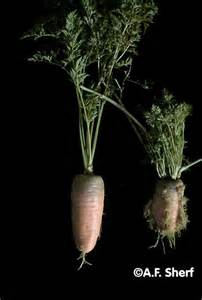 Crop Plant Diseases - carrot yellows photo