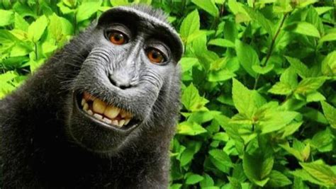 peta sues photographer david slater to try and get a peta monkey should be getting money from selfie time com