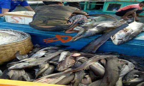 Minyak Ikan Hiu Di Apotek kapal tangkap ikan hiu ditangkap di selat bali balipost