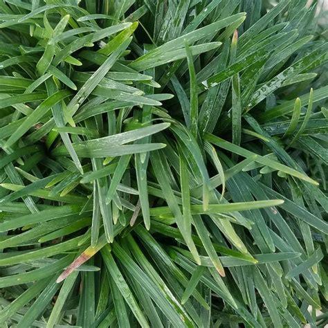 creeping dwarf gardenia 3 gallon shrub groundcover onlineplantcenter 3 in coccineus creeping red thyme plant