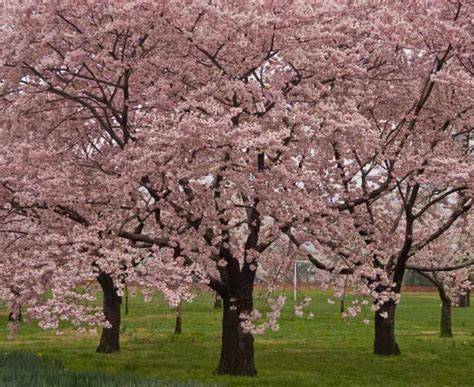 cherry tree kansas ks1 plants the structure and parts of trees