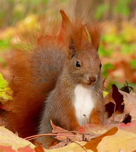well the squirrels are back commercial script 169 best scampering squirrels images on pinterest red