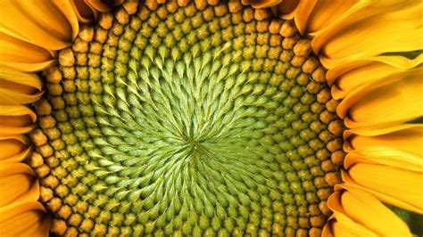 patterns in nature elementary math the mind blowing mathematics of sunflowers instant