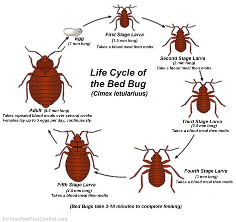 what do bed bugs come from how to get rid of bed bugs how to kill bed bugs