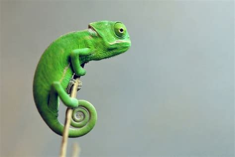 The Chameleon by Chameleons 10 Facts You Probably Need To Learn