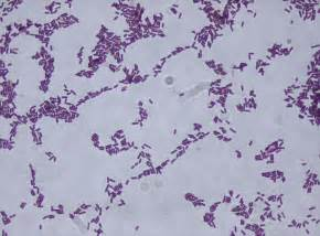what color is gram positive bacillus beneficial microbes