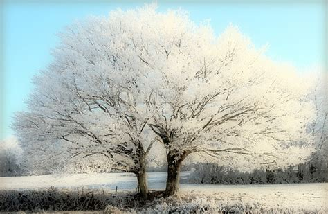 whit tree winter landscape white trees tree in the winter