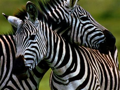 what color is a zebra black and white zebra
