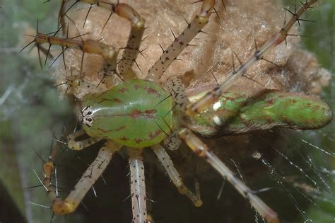 green spider texas search  pictures