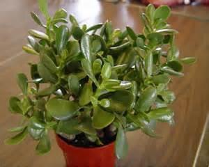 jade plant crassula argentea statue tree