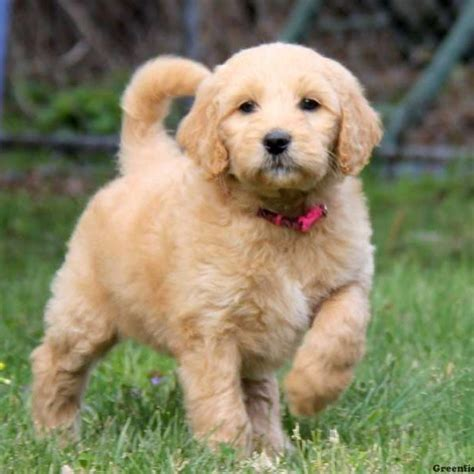 goldendoodle or golden retriever puppies for sale in ohio greenfield puppies