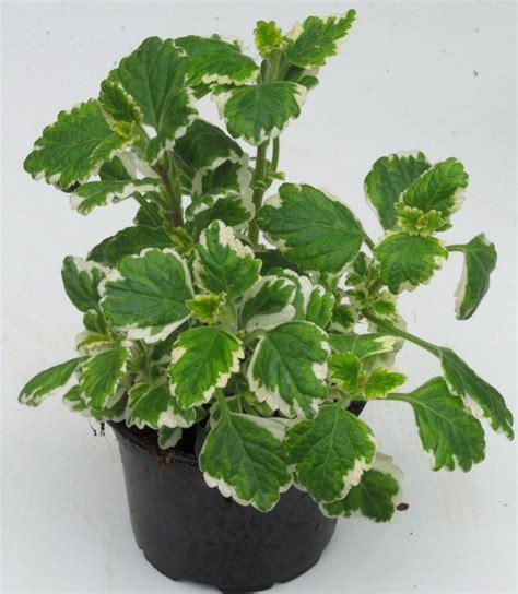 pflanzen kaufen pflanzen kaufen kirschlorbeer hecke a pflanzen
