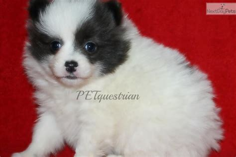 puppies for sale in grand forks nd pomeranian puppy for sale near grand forks dakota 8180135b a671