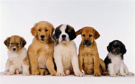puppy s puppies puppies wallpaper 16094619 fanpop