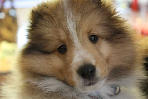shetland sheepdog puppies sheltie nation sheltie puppies sheltie nation