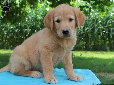 golden retriever beagle mix puppies for sale pin golden retriever beagle mix for sale on