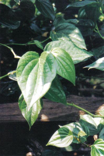 toga khasiat manfaat  penggunaan daun sirih betels