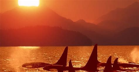 Sunset Orca Pin Warrior Pins - orca sunset orca orcas killer whales and