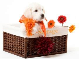 golden retriever puppies miami golden retriever for sale miami photo