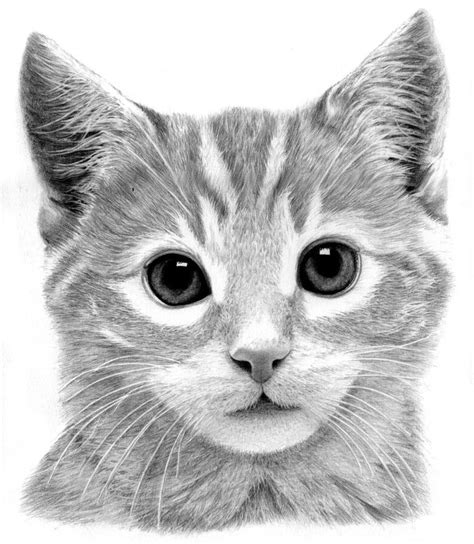 Drawing Kittens by Kitten Drawing By Ronny Hart