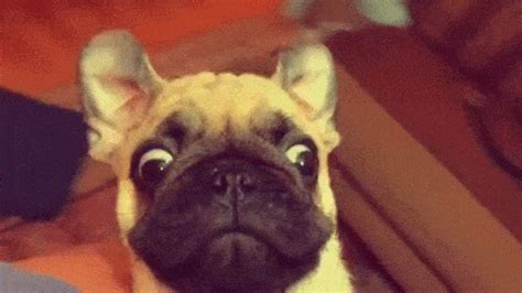 pug birthday gif 16 pugs who are more than ready for pugfest s birthday this weekend metro news