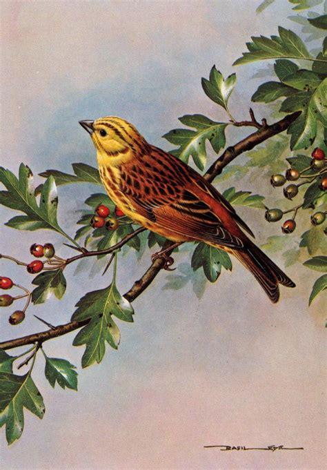 bird art drawing birds 1782212965 yellowhammer by basil ede b 1931 19th and 20th century bird art 2 bird